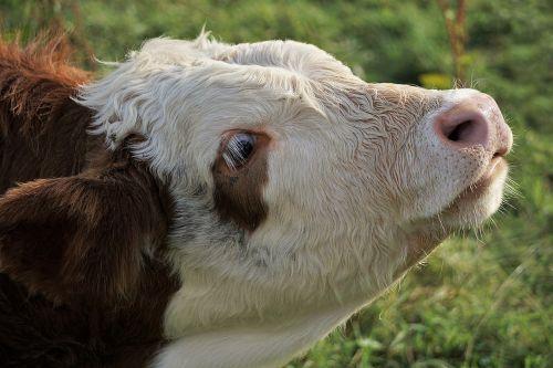 calf cow brown