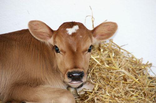 calf stall straw