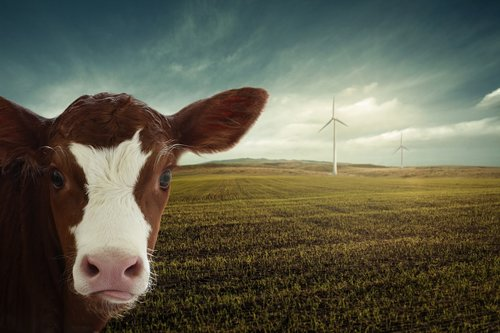calf  renewable energy  windräder
