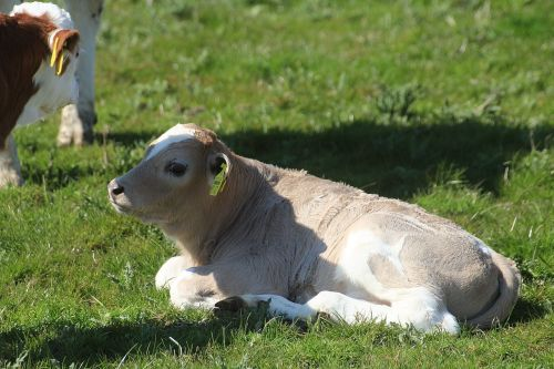calf holstein cattle cow