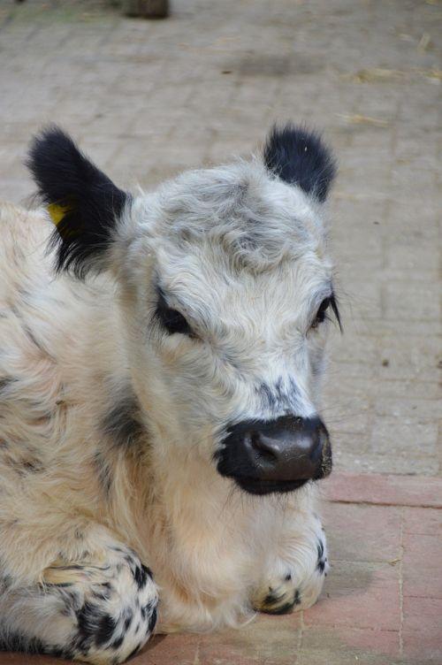 calf beef pasture