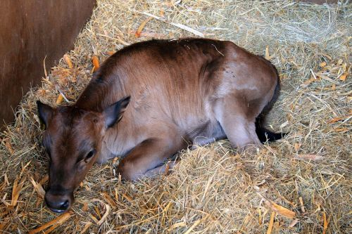 Calf In Stable, Irene Dairy Farm