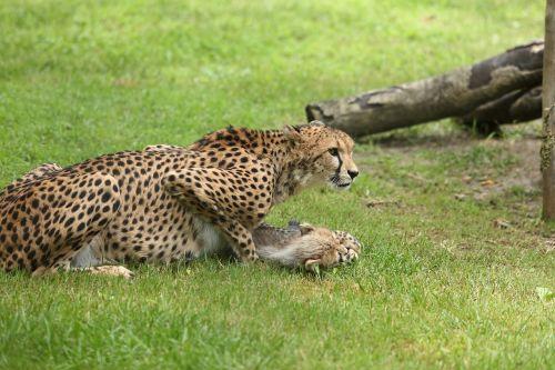 calico africa zoo