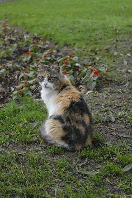 calico  cat  feline