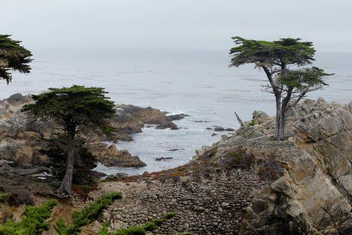 california cypress tree 17 mile drive