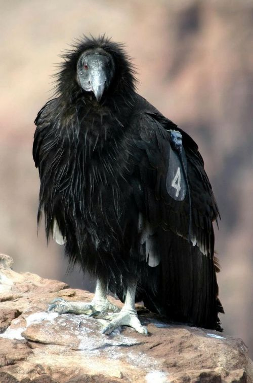 california bird condor
