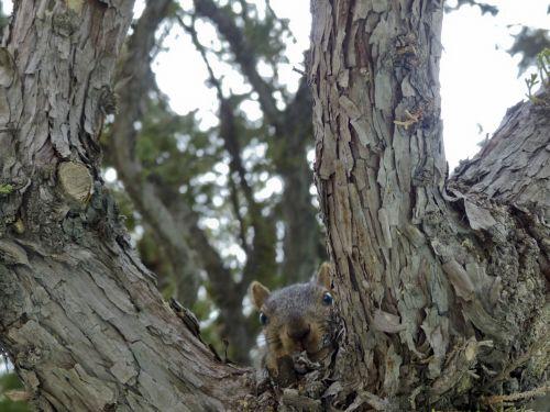 California Gray Squirrel