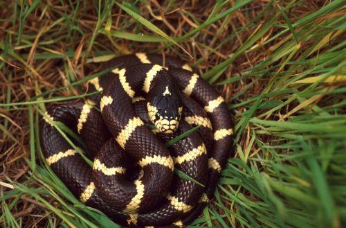 california kingsnake nonvenomous reptile