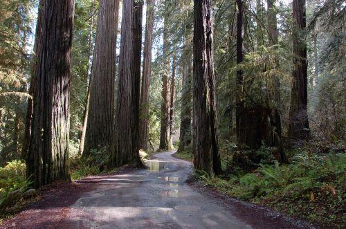 california redwoods redwood trees trees