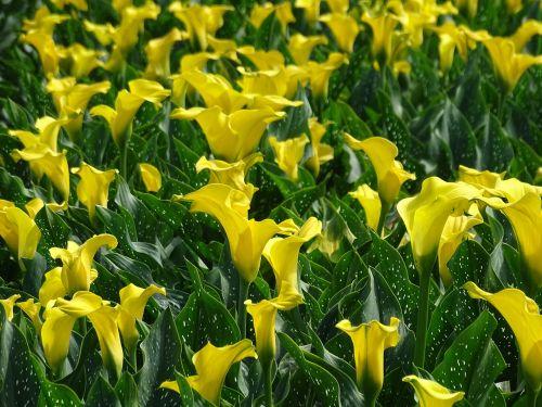 calla calla field yellow