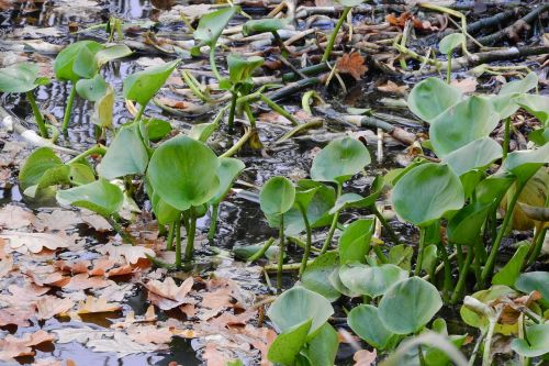 kalos lelijos,kala palustris,vandens augalas,pietų bohēma