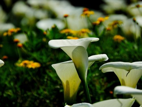 callas flower park