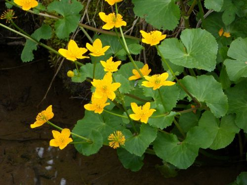 caltha palustris flowers aquatic plant