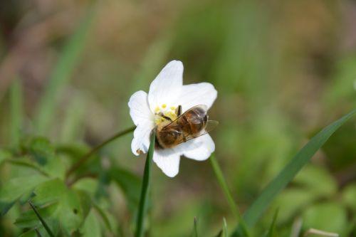 caltha palustris white bee