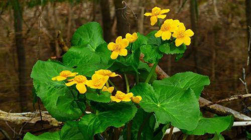 caltha palustris,gėlė,geltona,gamta,tvenkinys,dotterblume,žiedlapiai,vandens augalas,pavasaris,teichplanze,vanduo,Uždaryti