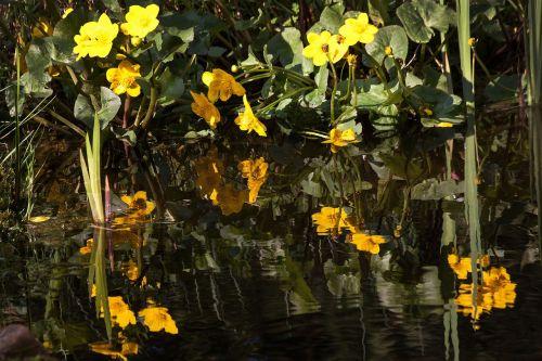 caltha palustris flowering plant hahnenfußgewächs