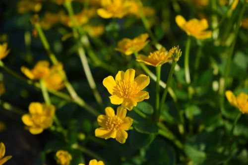 caltha palustris flowers yellow