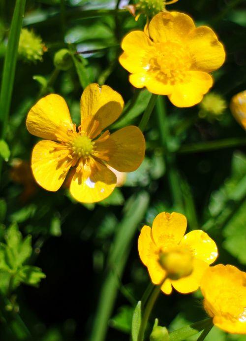 caltha palustris dotterblume flower