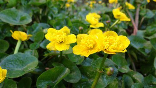 caltha palustris pond plant yellow