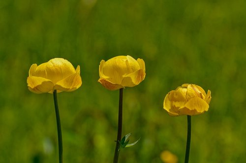 caltha palustris  yellow  dotterblume