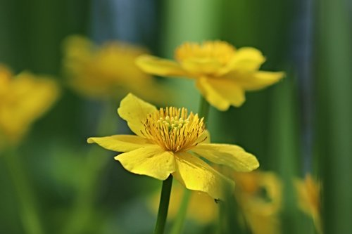 caltha palustris  flowers  stamens