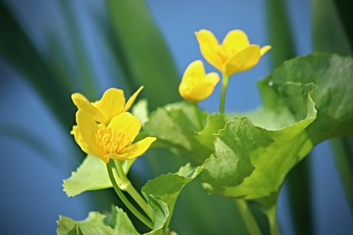 caltha palustris  meadow  pointed flower