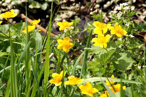 caltha palustris  spring  nature