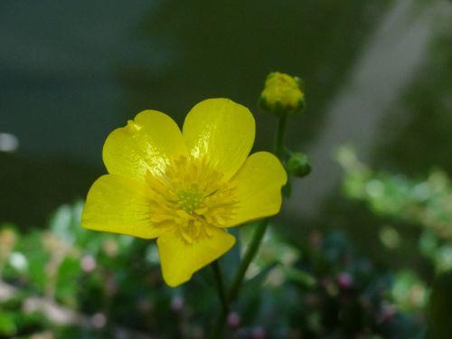 caltha palustris pond pond plant