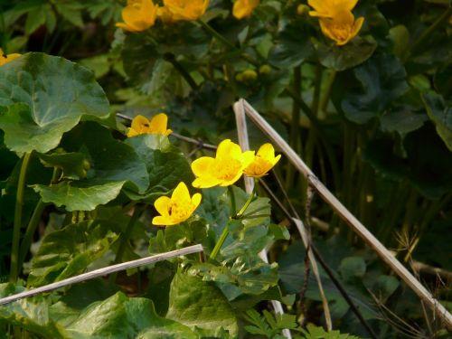 caltha palustris aquatic plant blossom