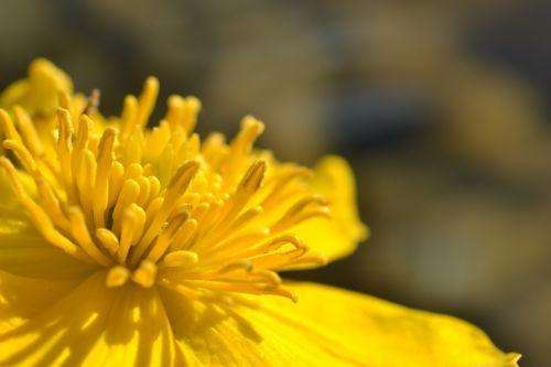caltha palustris flower pond