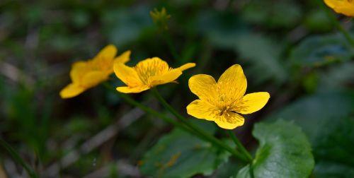 caltha palustris flowers yellow