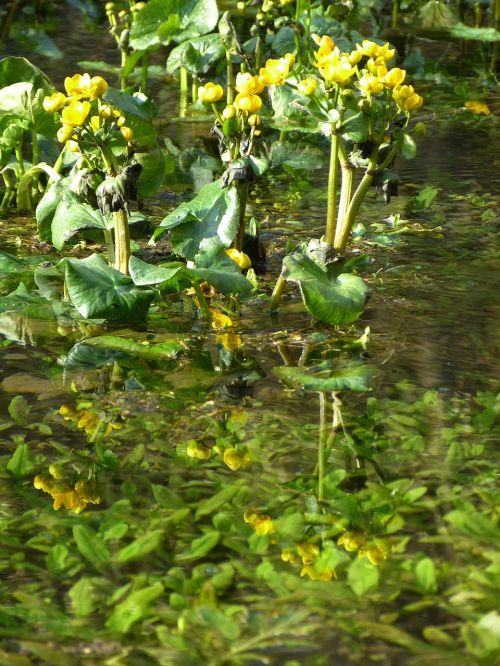 caltha palustris hahnemann foot greenhouse yellow