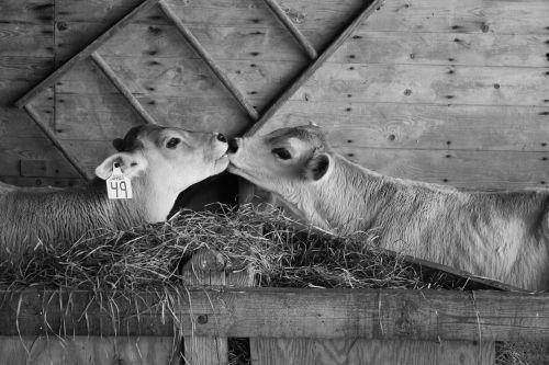 calves cows kissing
