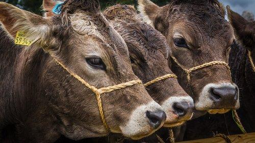 calves  animals  viehscheid