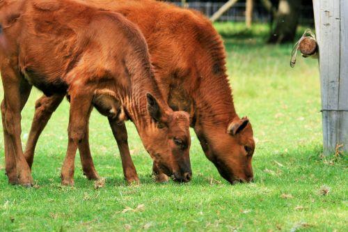 Calves Grazing Together