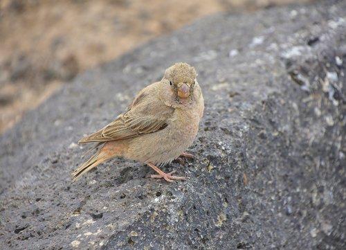 camacho trumpeter  bird  fuerteventura
