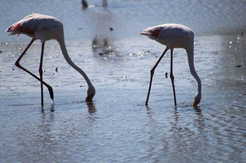 camargue pink flamingo ornithology
