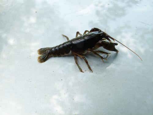 cambarus bartonii crayfish appalachian brook crayfish