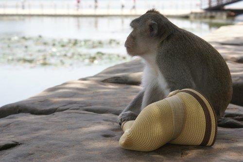 cambodia monkey  angkor wat  unesco