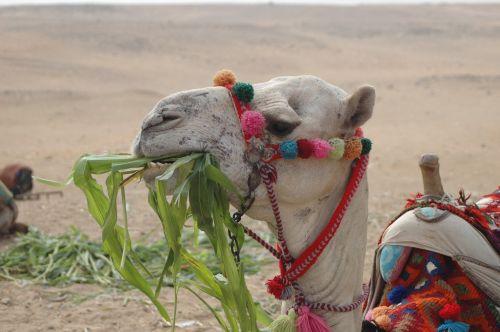 camel egypt desert