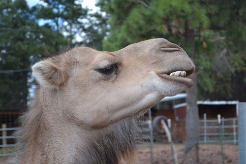 camel teeth head