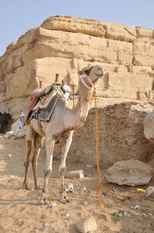 camel dromedary egypt