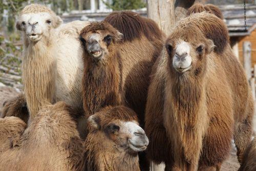 camel house camel old world camel