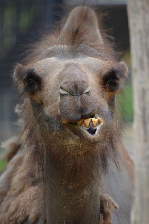 camel animal mammal