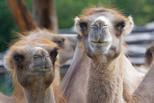 camel paarhufer calluses ohler