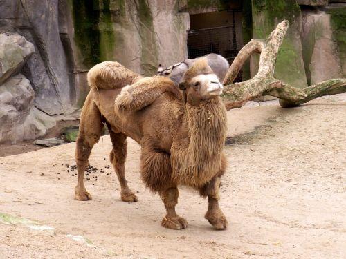 camel zoo desert ship