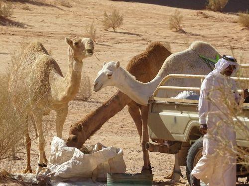 camel jordan desert