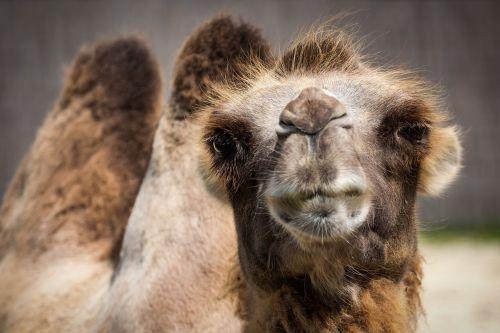 camel bactrian camel watch