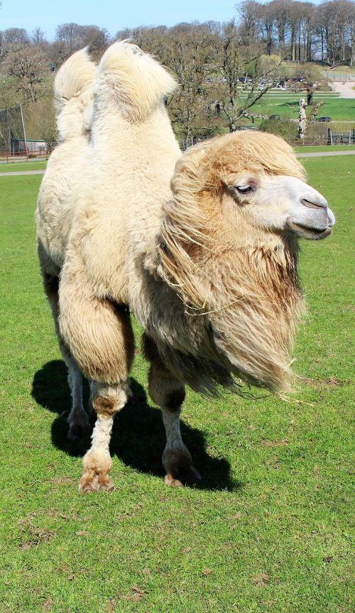 camel hump safari