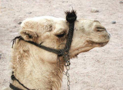 camel animal dromedary